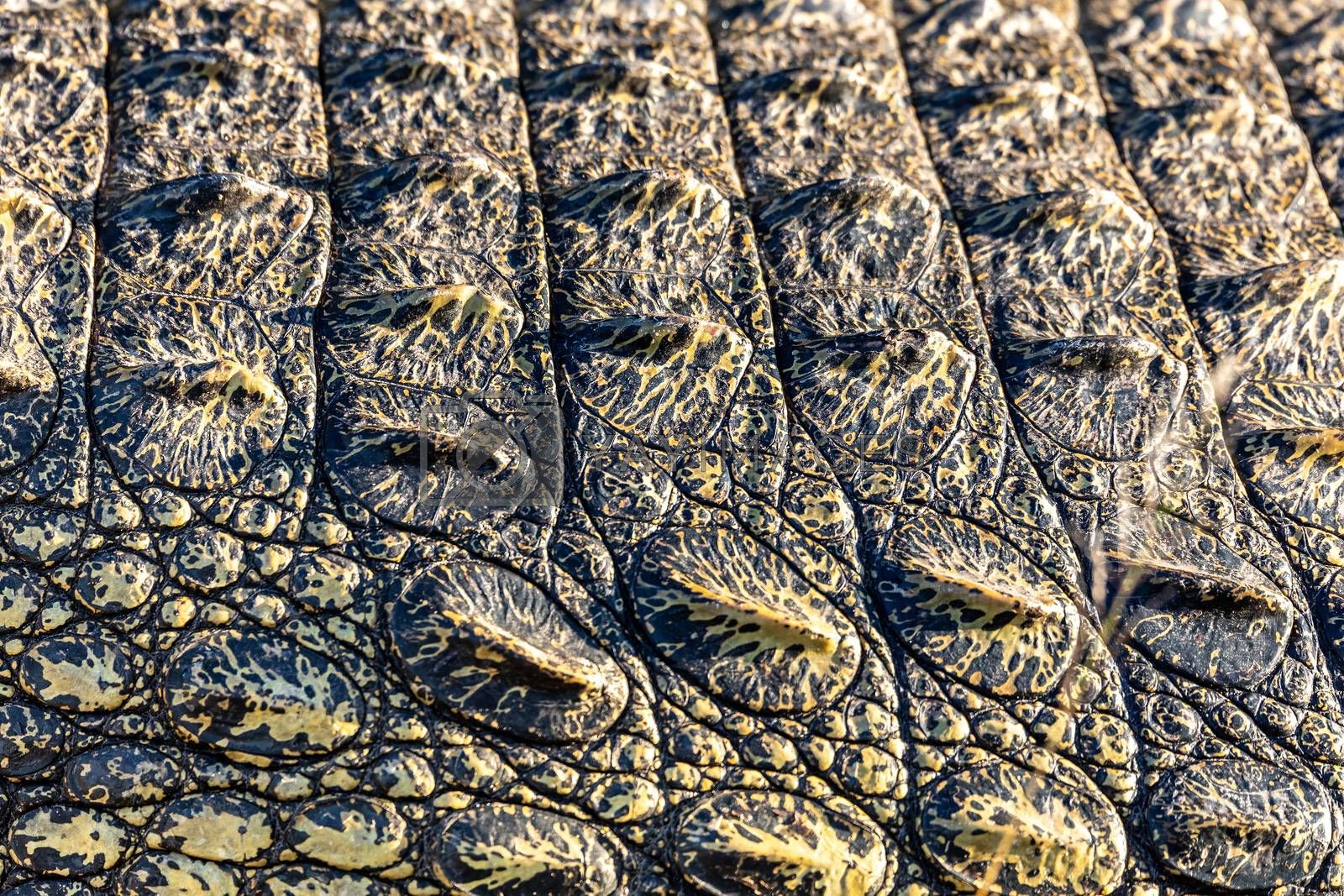 Detail of Nile crocodile skin for background of texture use