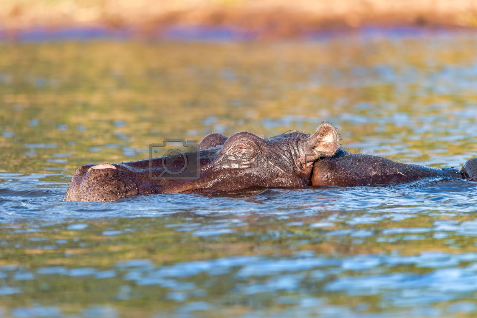 Hippo Hippopotamus Hippopotamus. Chobe National Park, Botswana. True wildlife photography