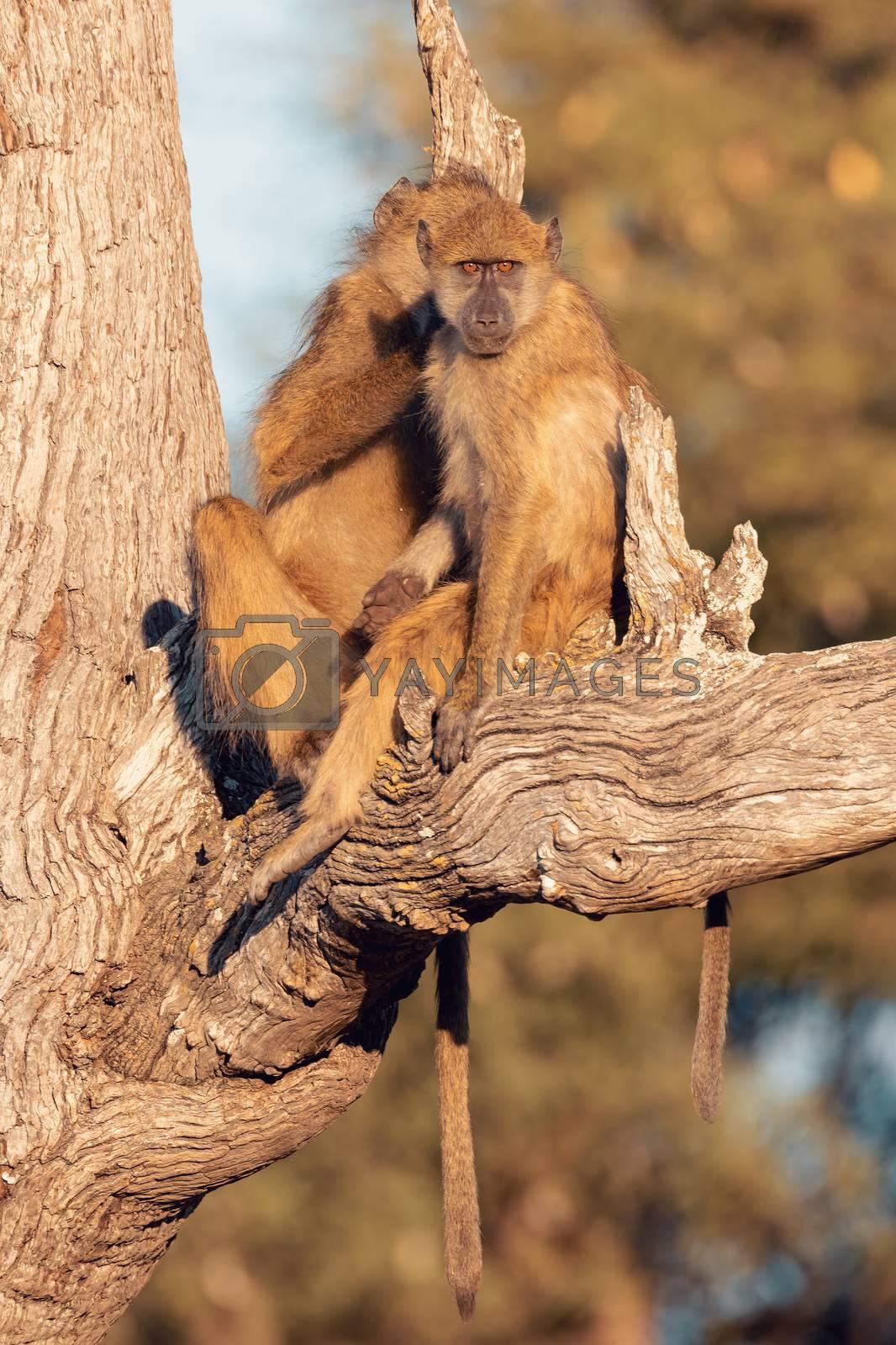 Chacma Baboon monkey (Papio anubis) on tree, Bwabwata Caprivi strip game park, Namibia, Africa safari wildlife