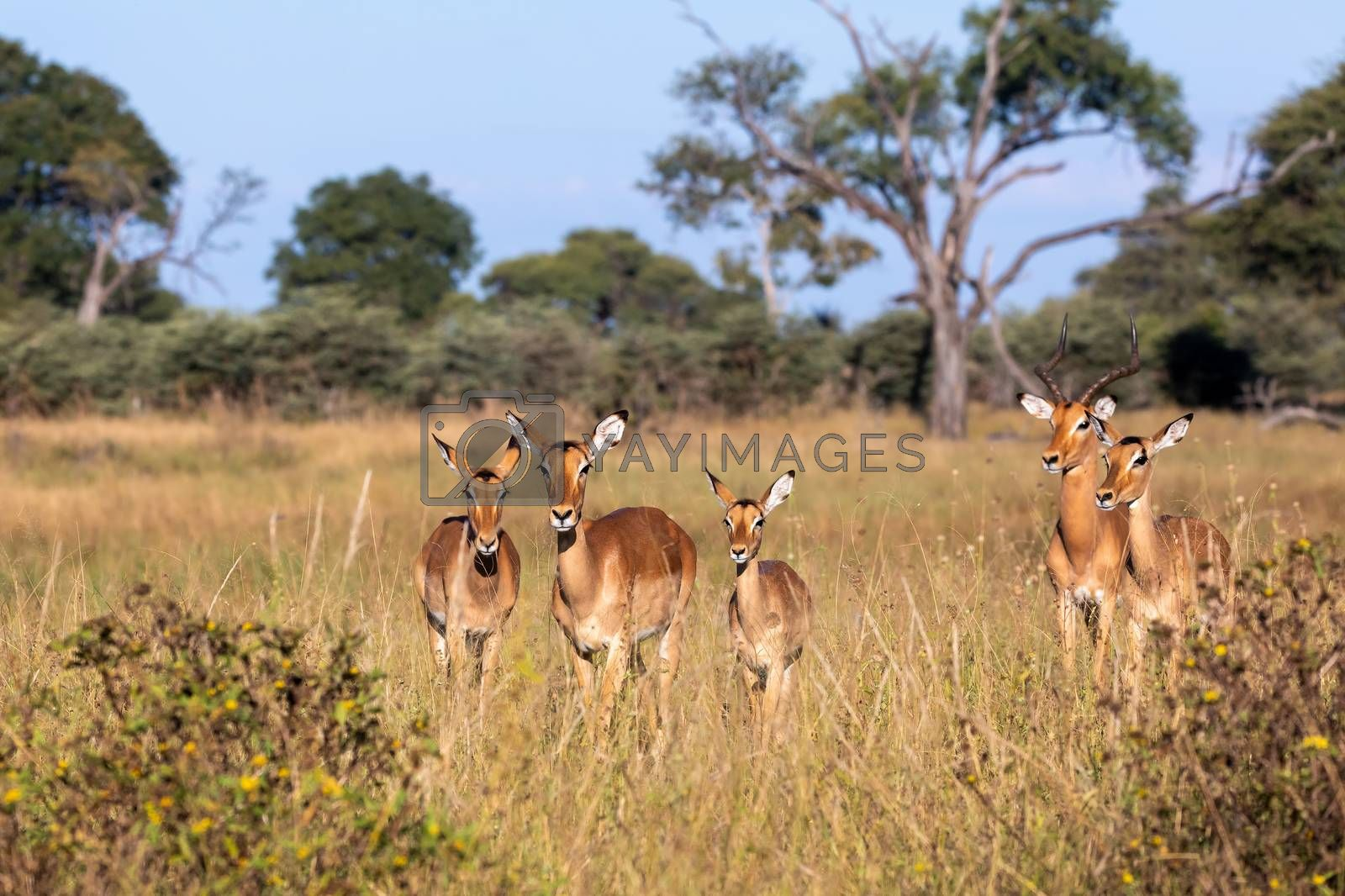 Impala antelope family (Aepyceros melampus) Caprivi strip game park, Nambwa Namibia, Africa safari wildlife and wilderness