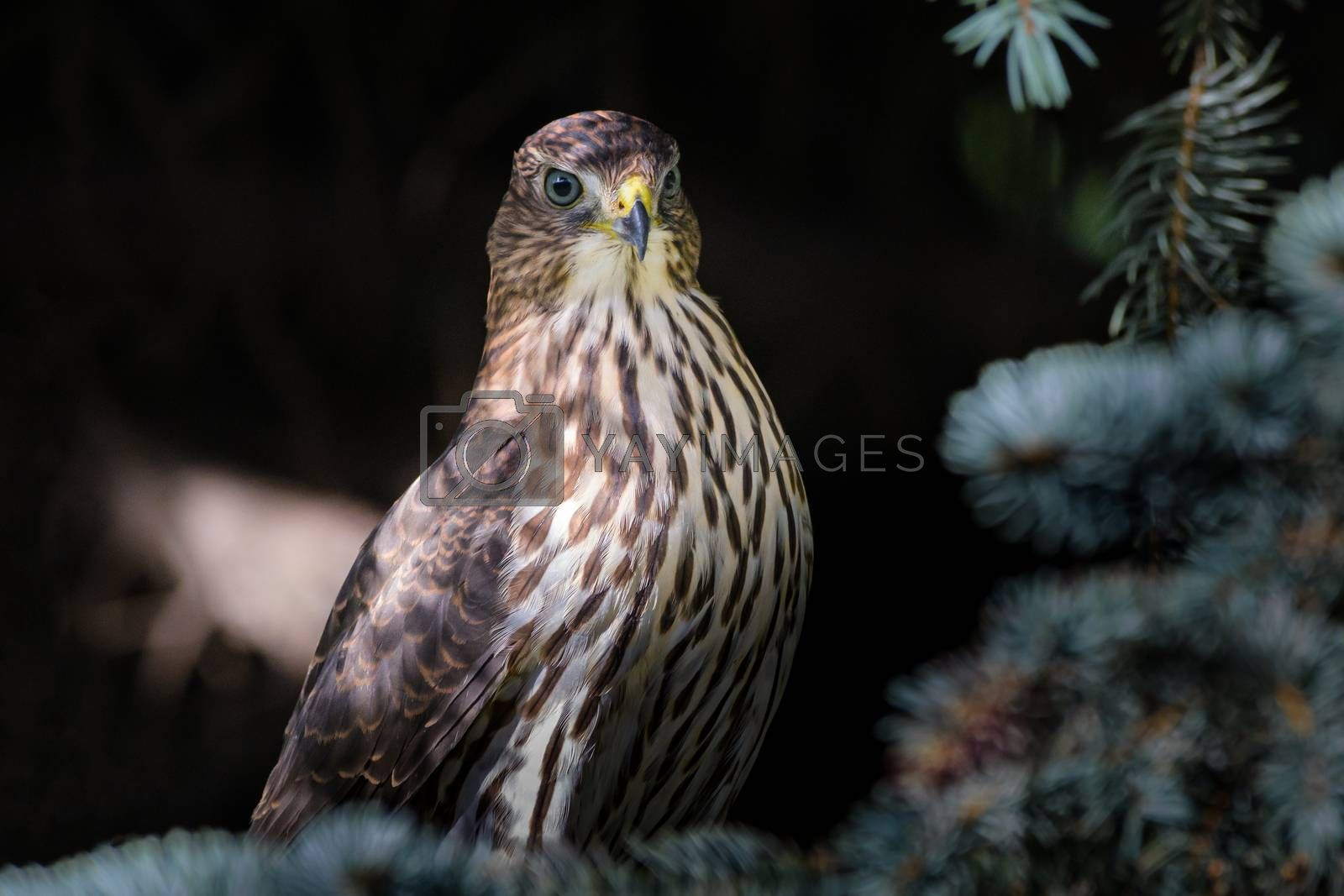 Cooper's Hawk Sitting on a Spruce Tree Branch by Gary Gray