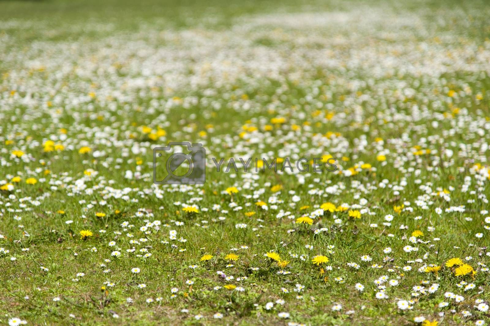 Green meadow with daisy and dandelion flowers