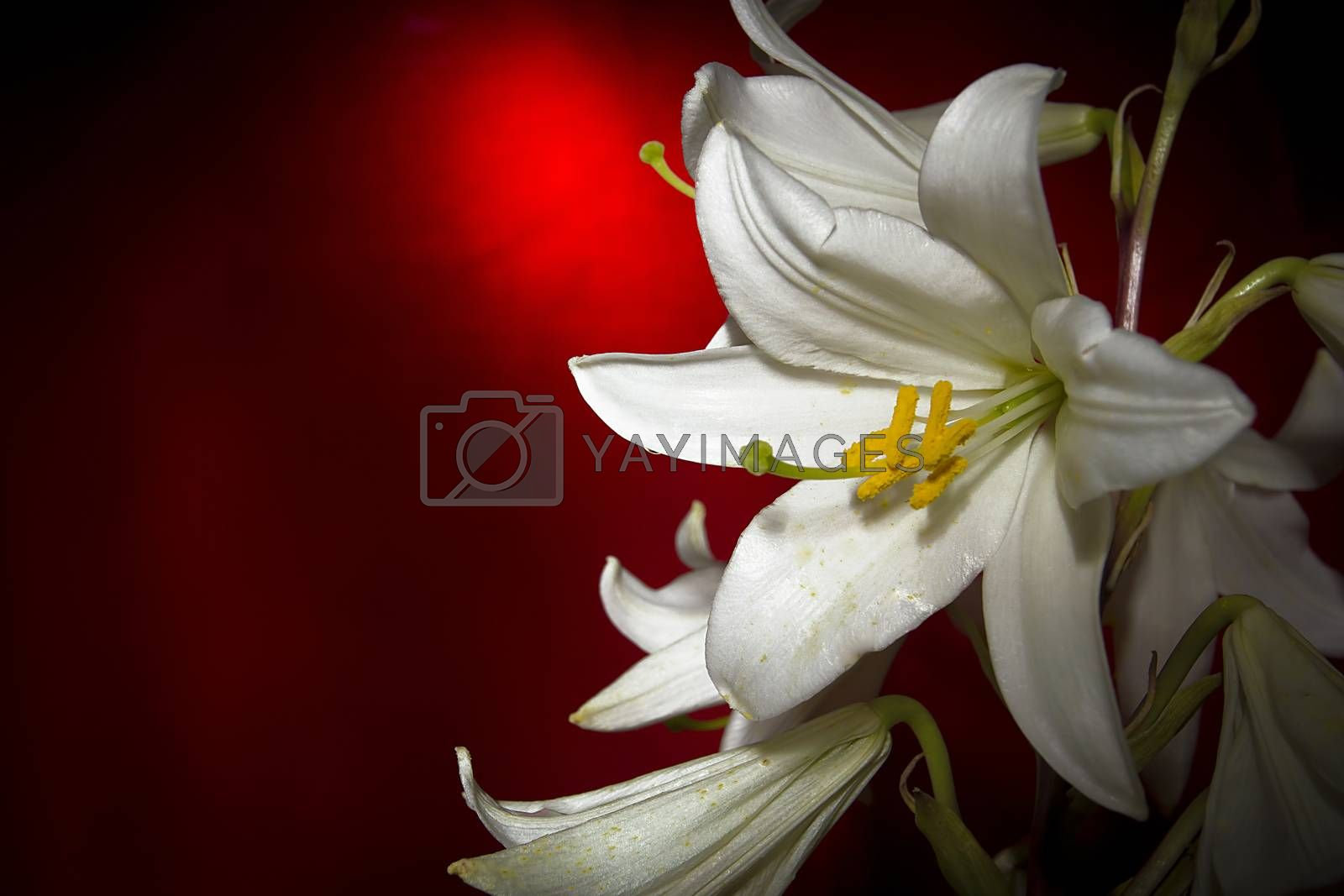 White lily flower on a red background