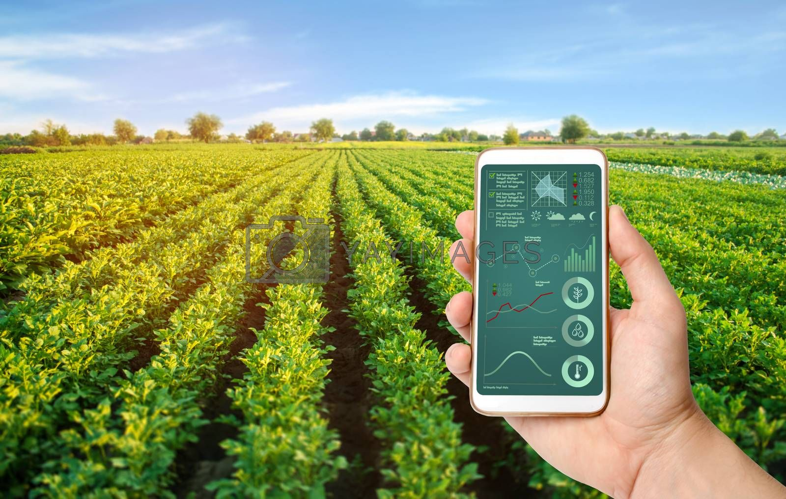 A hand is holding a smartphone with infographics on the background of a potato plantation. innovative technologies for data analyzing on crop status, plant needs. potatos grow in the field agriculture by iLixe48