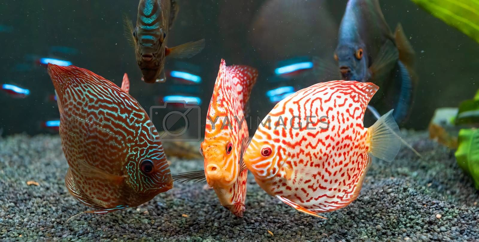 Colorful fish from the spieces Symphysodon discus in aquarium. Closeup, selective focus.