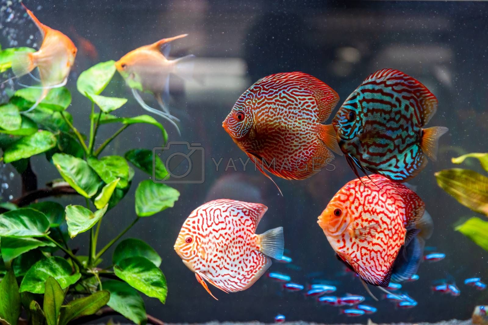 Colorful fish from the spieces Symphysodon discus in aquarium. by Madphotos