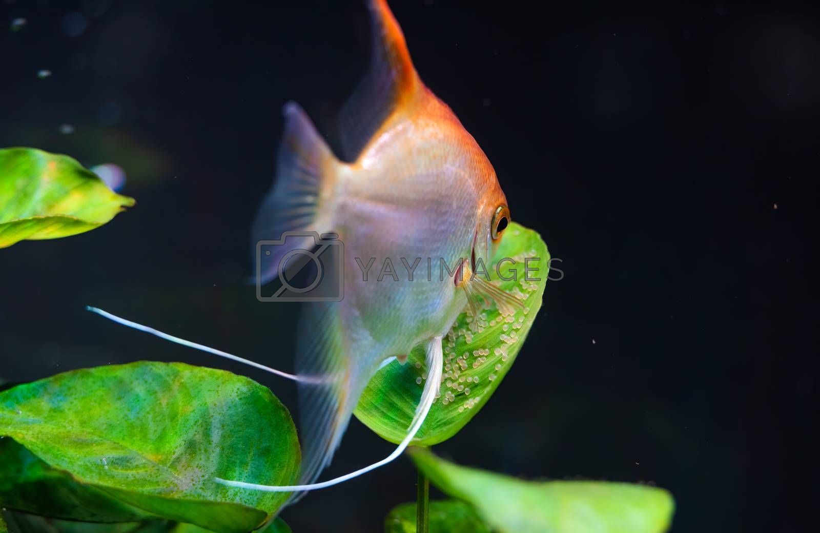 Gold Pterophyllum Scalare guarding eggs. Roe on the leaf by Madphotos