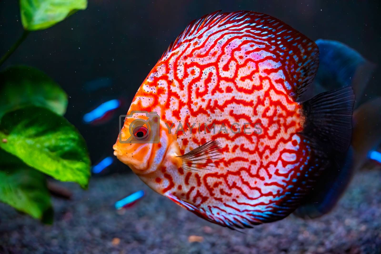 Closeup of a checkerboard red tropical Symphysodon discus fish. by Madphotos