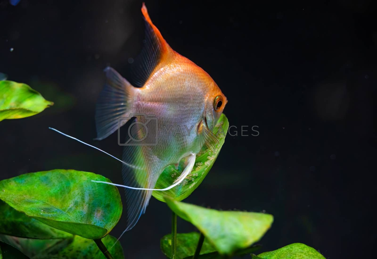 Gold Pterophyllum Scalare in aqarium, yellow angelfish guarding eggs. Roe on the leaf. Selective focus
