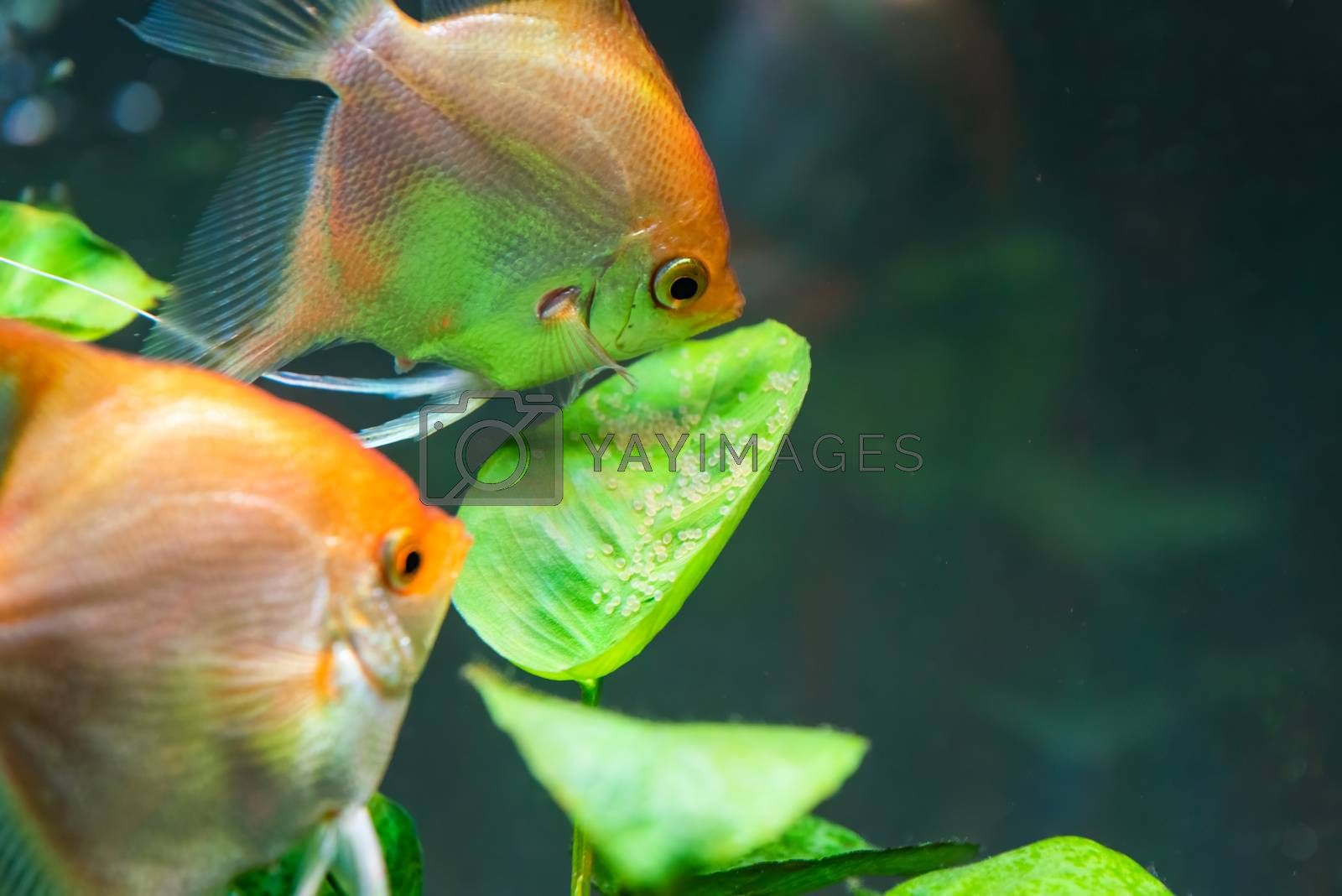 Pair of Gold Pterophyllum Scalare in aqarium, yellow angelfish guarding eggs. Roe on the leaf. selective focus