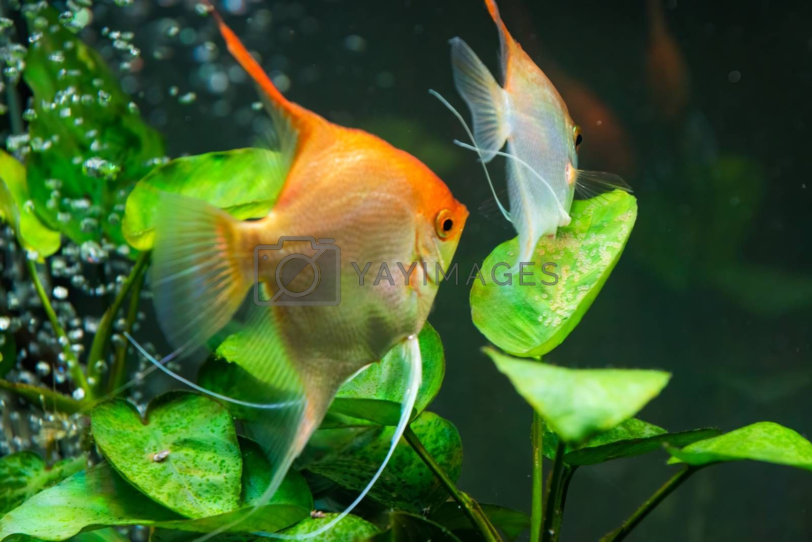Pairof Gold Pterophyllum Scalare guarding eggs. Roe on the leaf by Madphotos