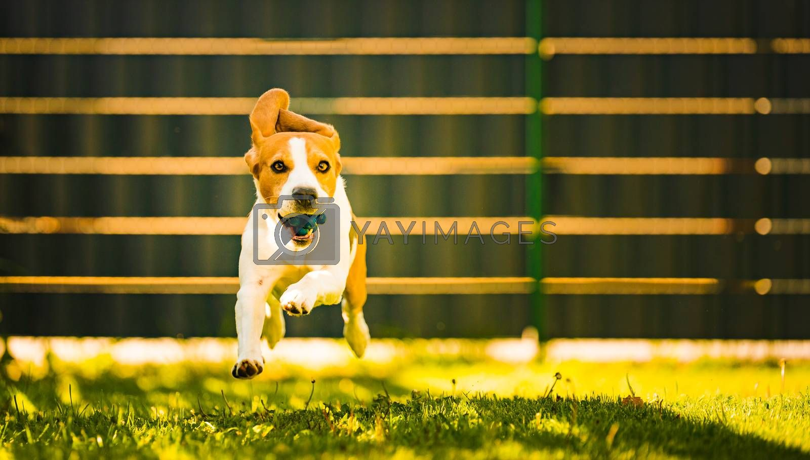 Cute Beagle dog running happy over the yard with a blue ball towards camera. by Madphotos