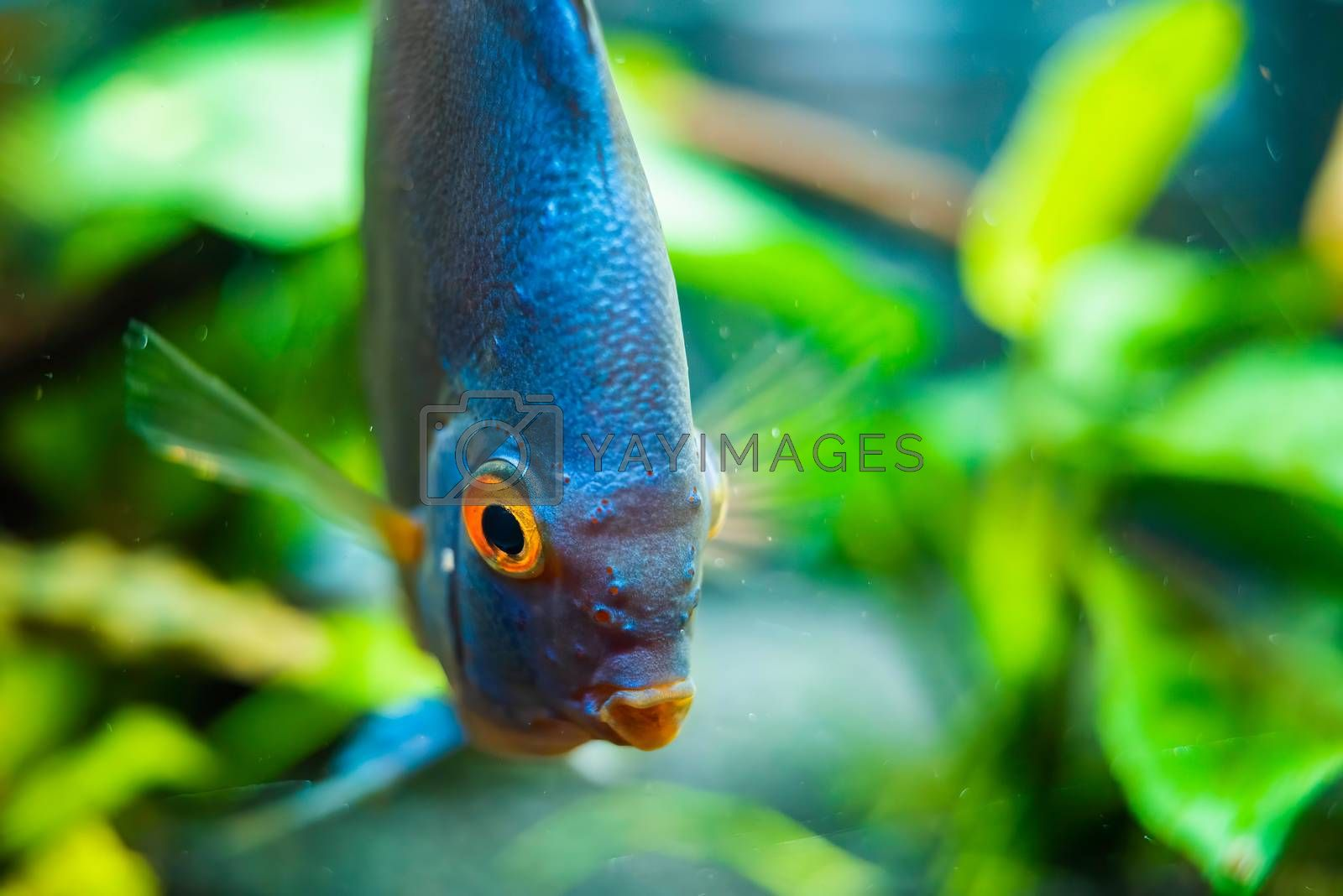 Discus fish detailed close up in the aquarium by Madphotos