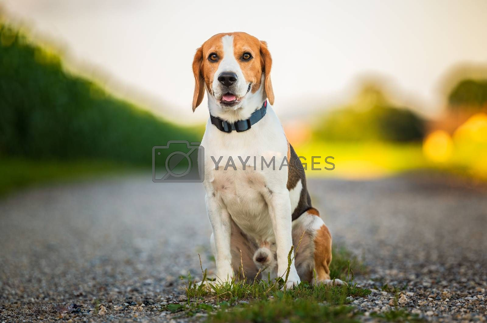 Portrait of a beagle dog in nature sitting on rural road, looking at camera. by Madphotos