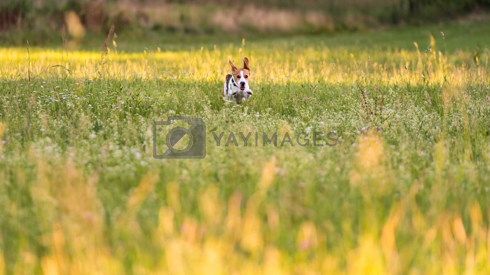 Dog Beagle running and jumping with tongue out by Madphotos