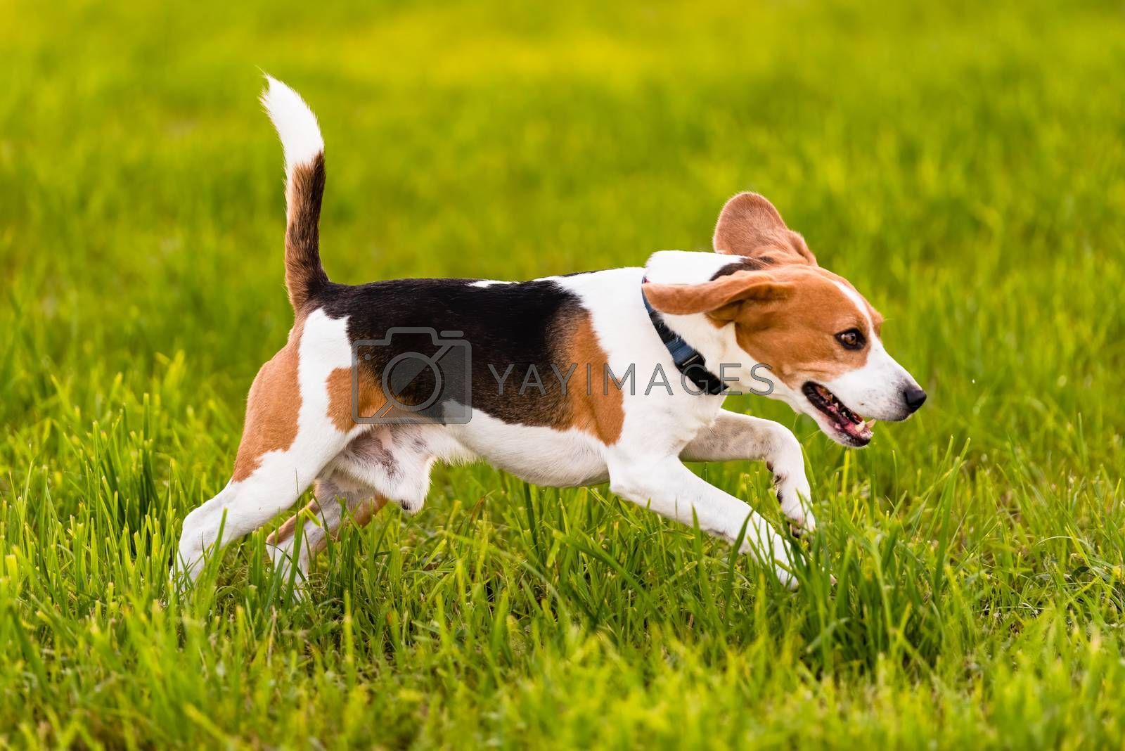 Dog Beagle running and jumping with tongue out through green grass field in a spring. Side shoot.