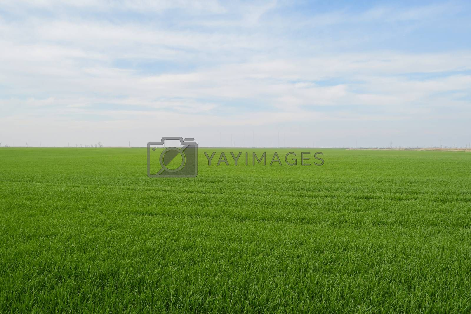 Field of young wheat in the spring. Landscape of field and sky.