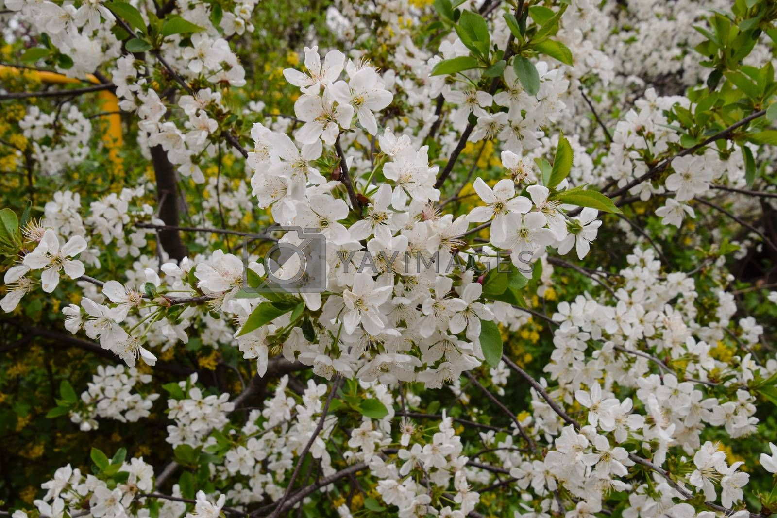 Cherry blossoms in the garden. White flowers on a tree