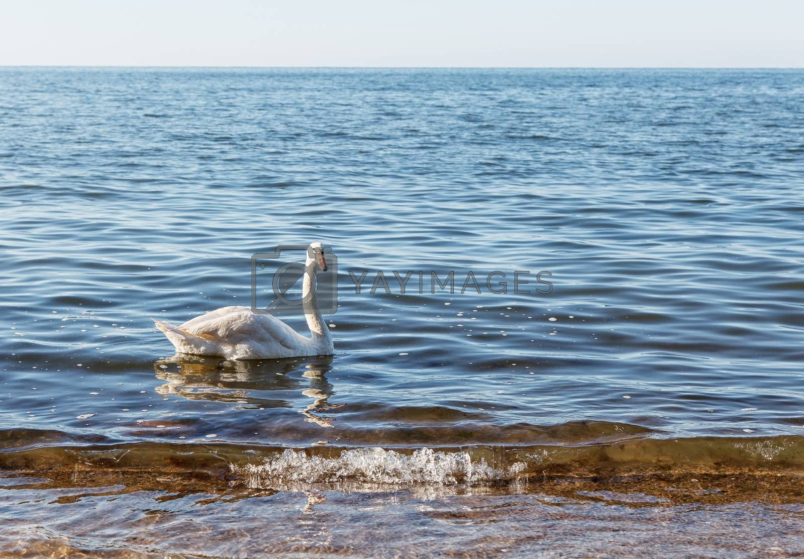 white swan floating near the seashore by raddnatt