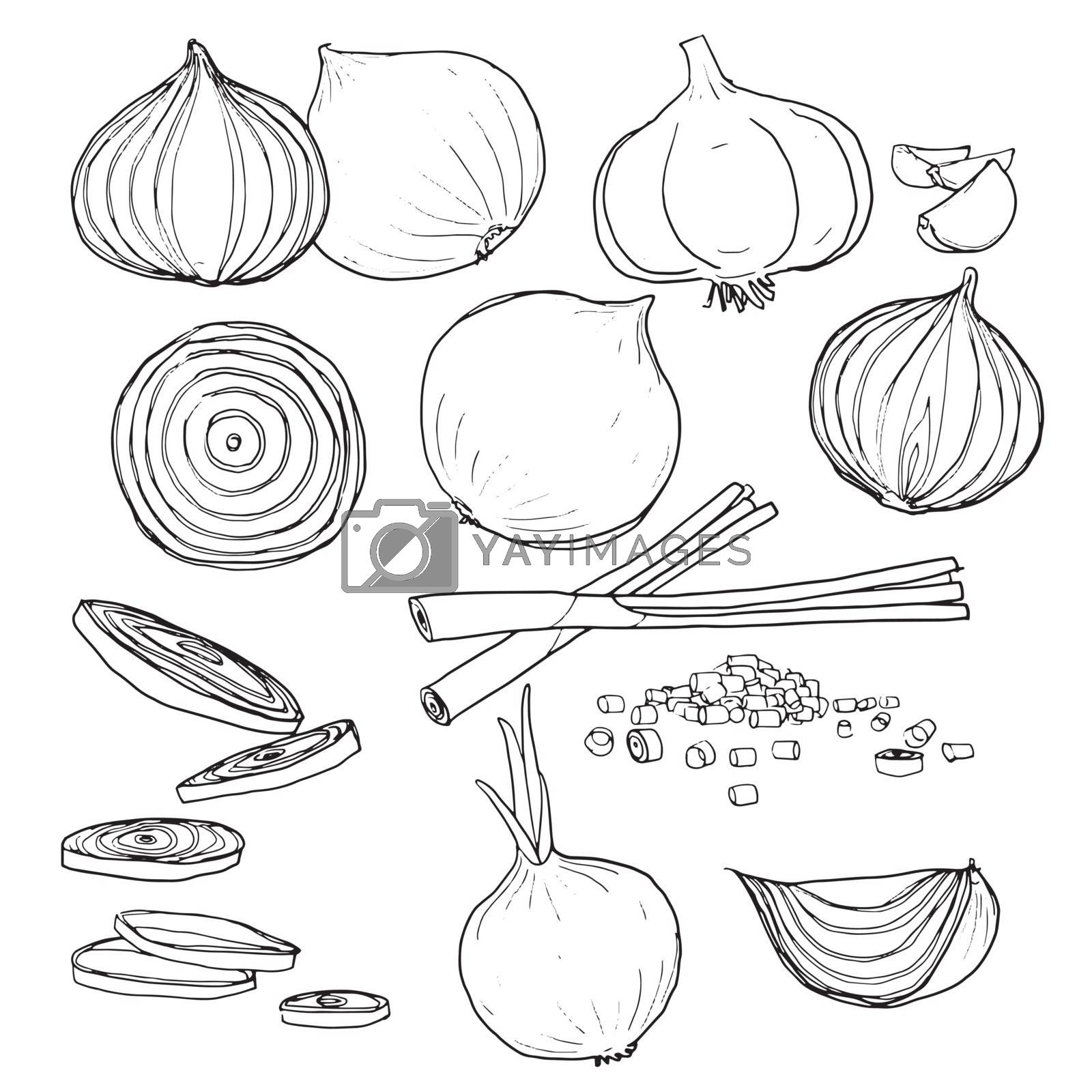 vector onion  set of  hand drawn line art painting illustration