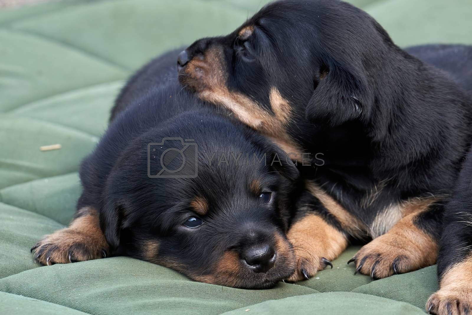 Jack Russell terrier puppies. Close-up portrait, lie on a green cloth.