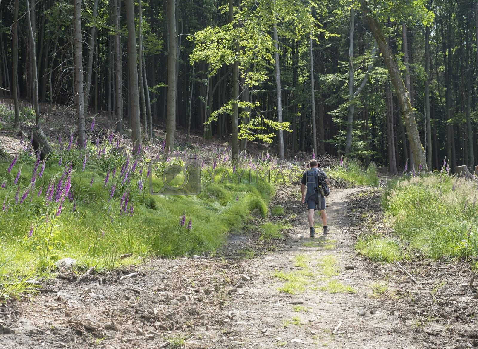young man hiker with backpack and hat walking on winding forest track road in lusitian mountains hills. Green spruce trees forest and blooming foxglove flowers
