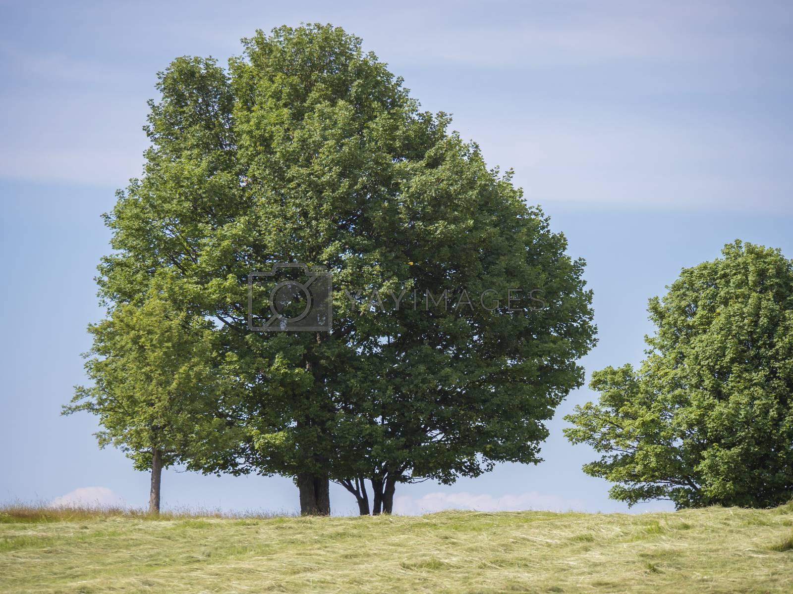 Big Linden Tree on mowed Meadow with summer rural Landscape, Blue Sky background.