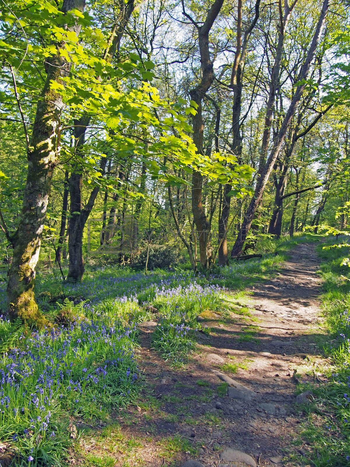 a woodland path running though a carpet of wild english bluebells and vibrant spring beech trees in bright sunlight