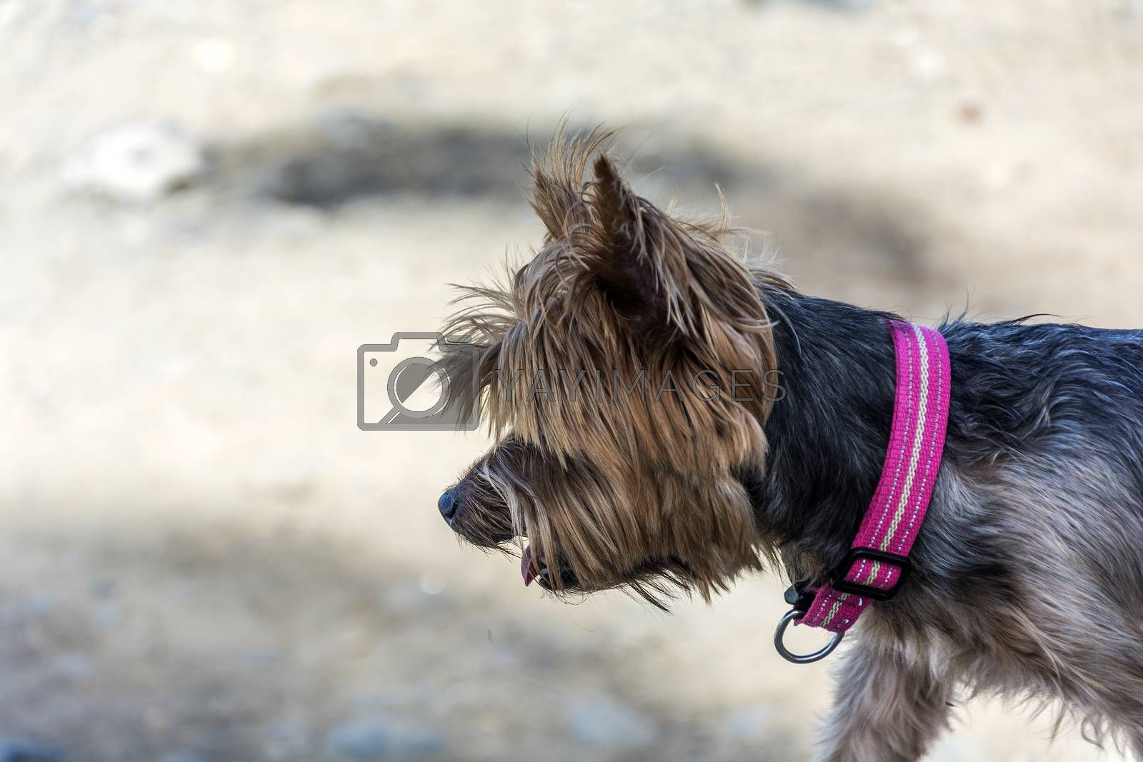 Home terrier dog walking on the street. At the dog wearing a pink collar.