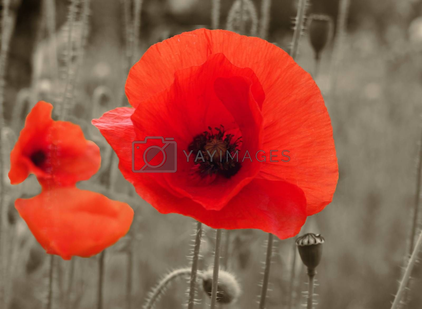 a close up of a bright red common poppy flower with buds with a blurred summer meadow background
