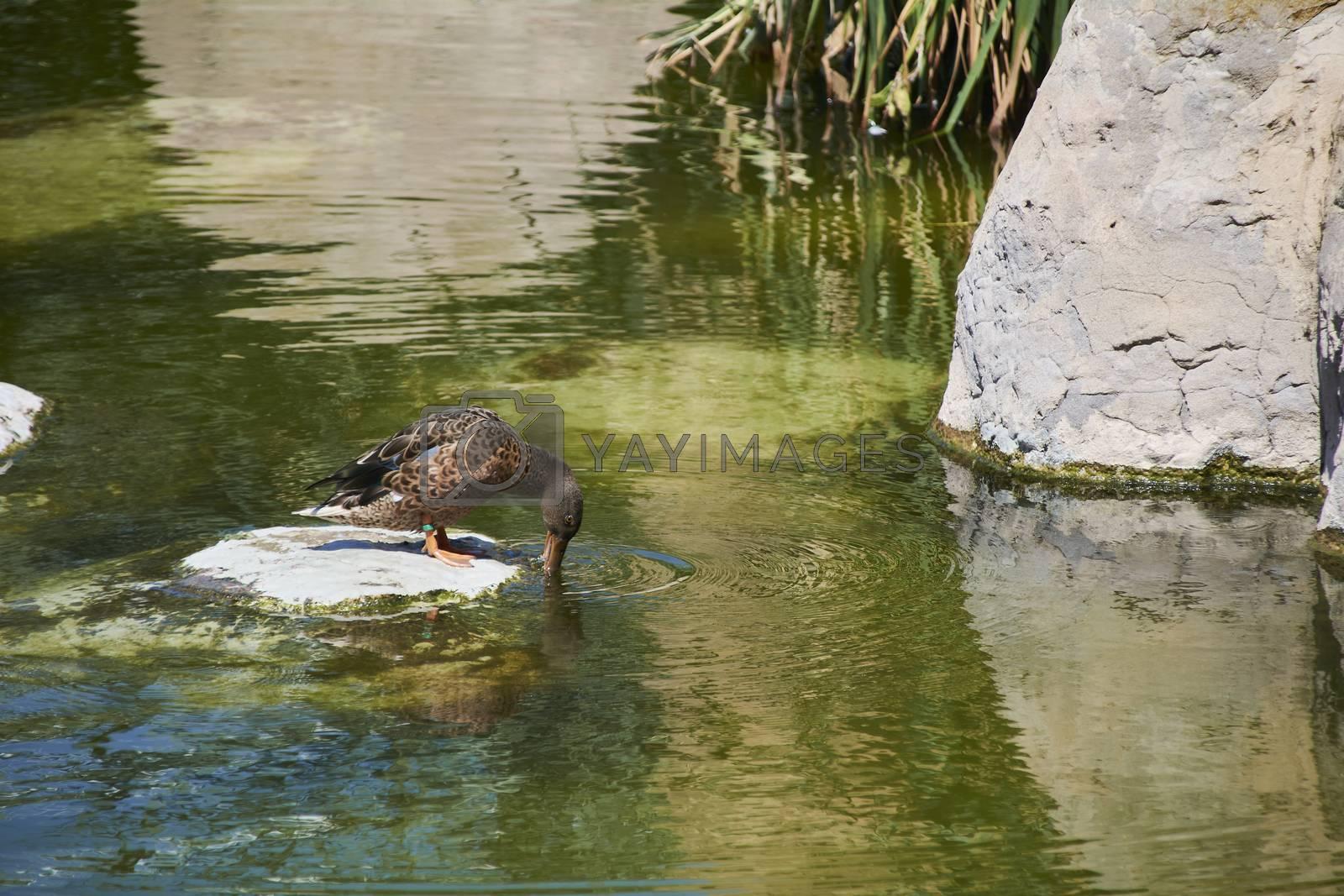 Duck on a rock drinking water, small rock, vegetation