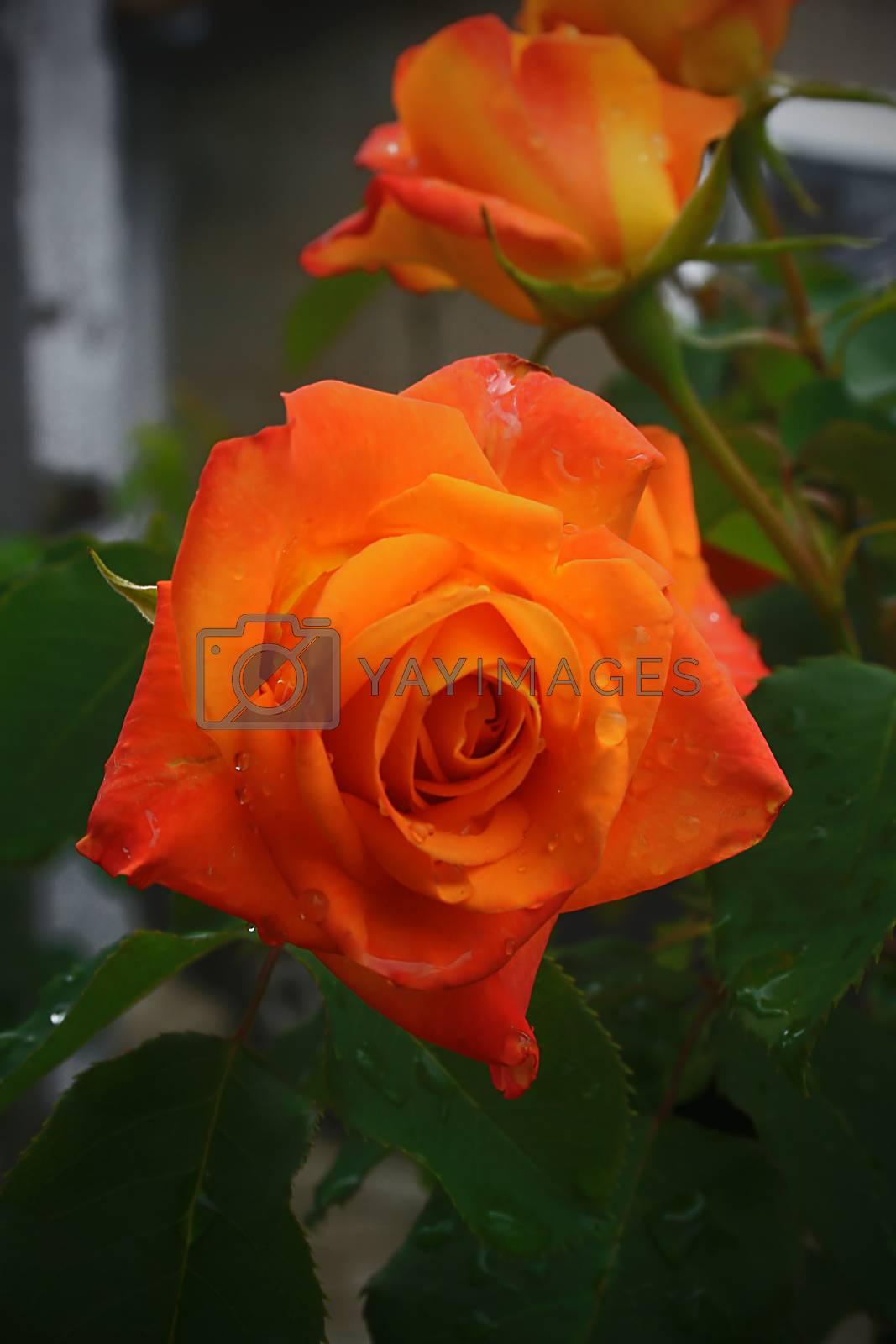 Orange rose in a summer garden close-up