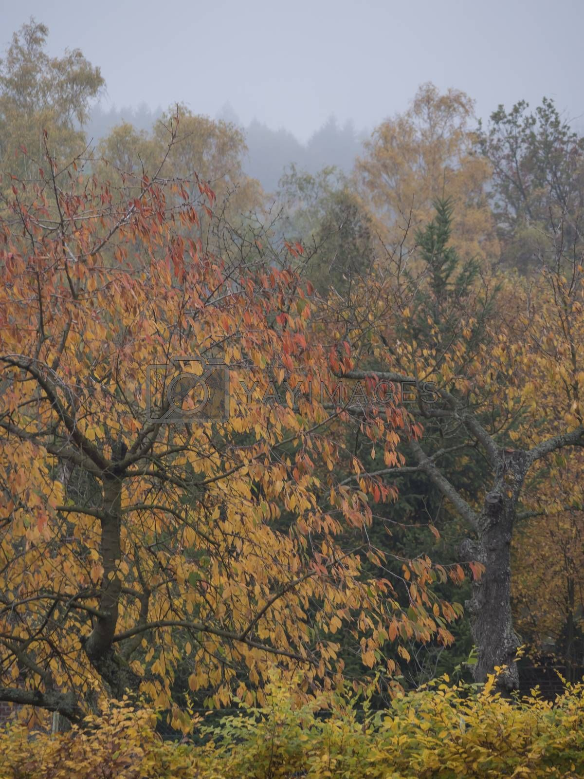 Vibrant Autumn Colours of the Leaves on Cherry Tree, deciduous trees and bush in moody foggy autumn day with mist background in a countryside.
