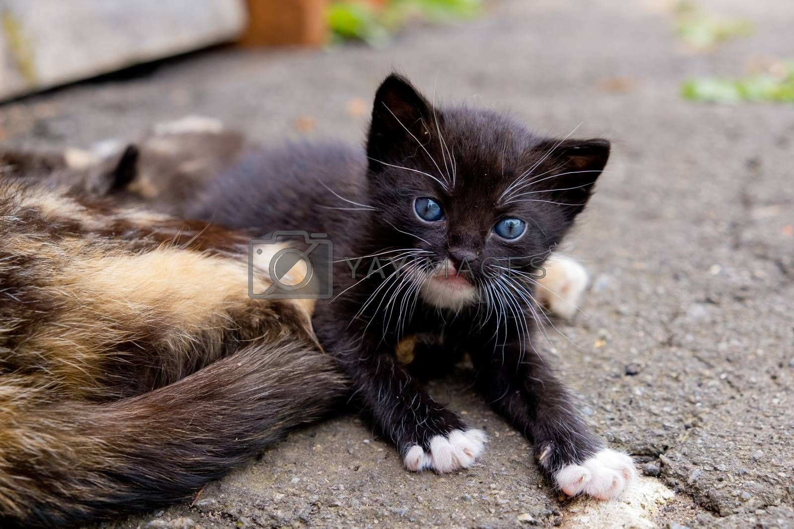 Small black kitten with blue eyes in outdoors. by leonik