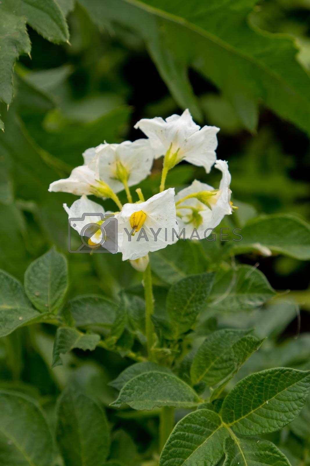 Flowering of growing potatoes. Closeup.