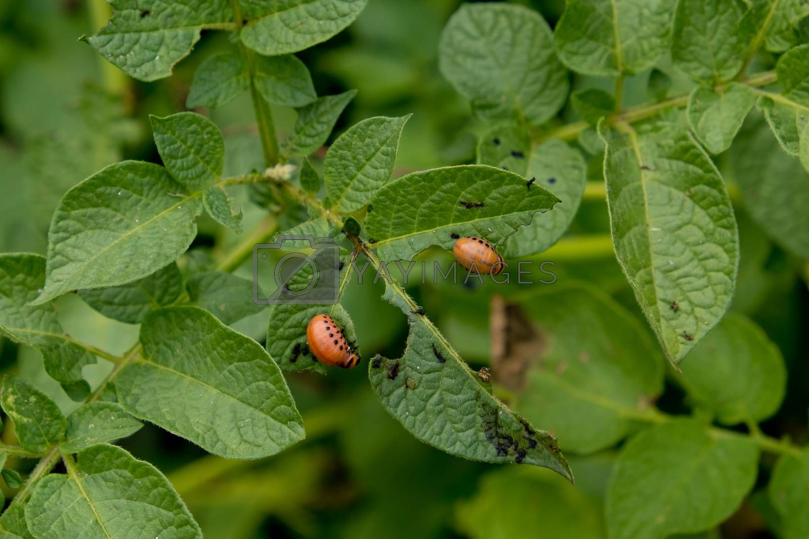Colorado potato beetle larva eats potato leafs.