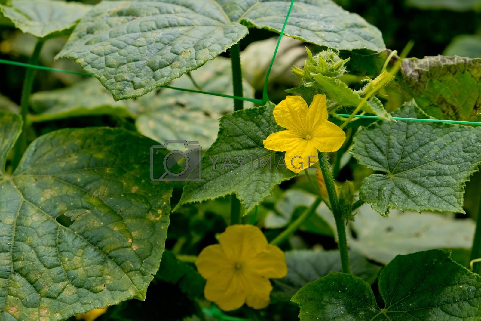 Yellow flowers of cucumber in the garden. Close-up.