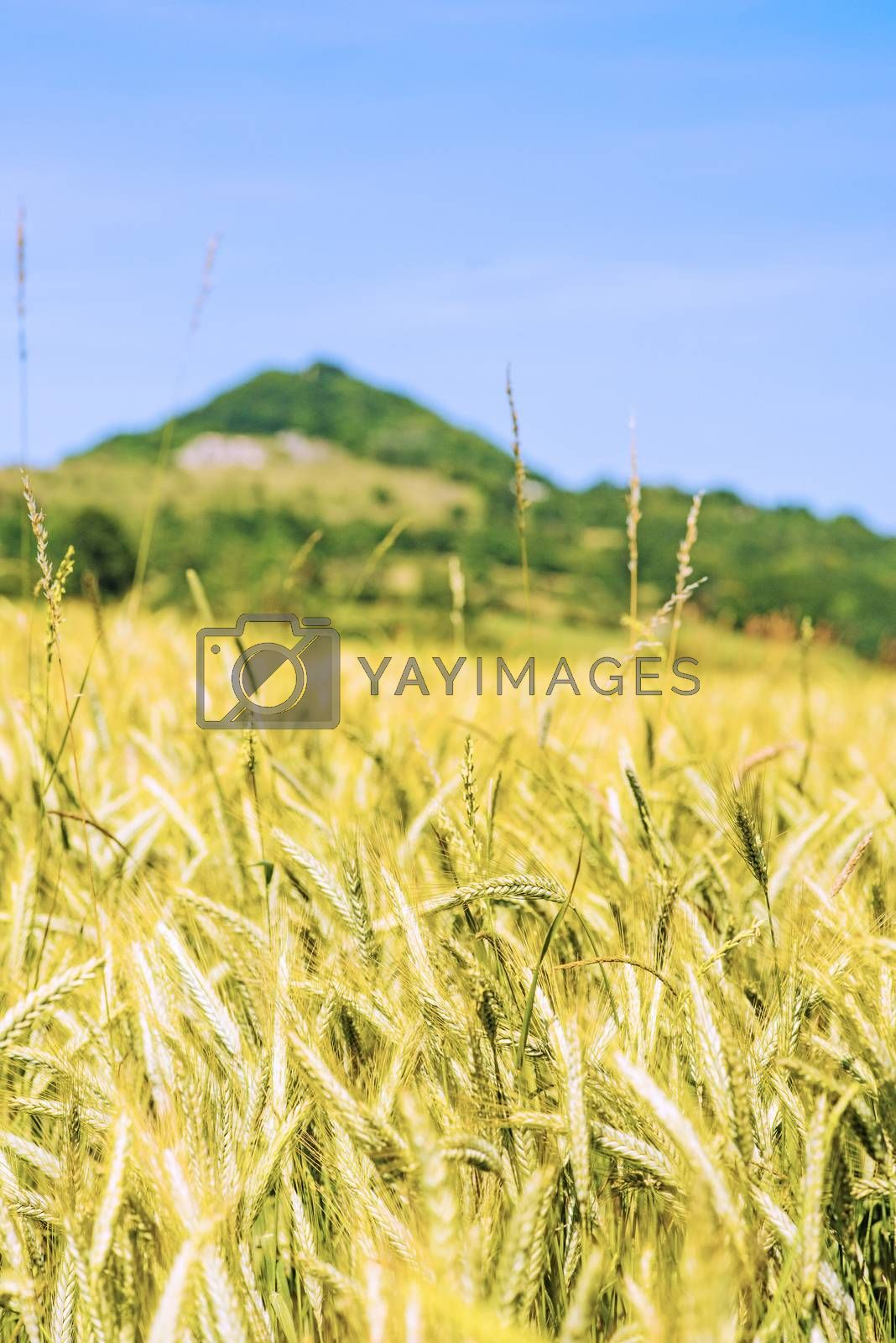 barley, field with hill Hohenstaufen in Germany