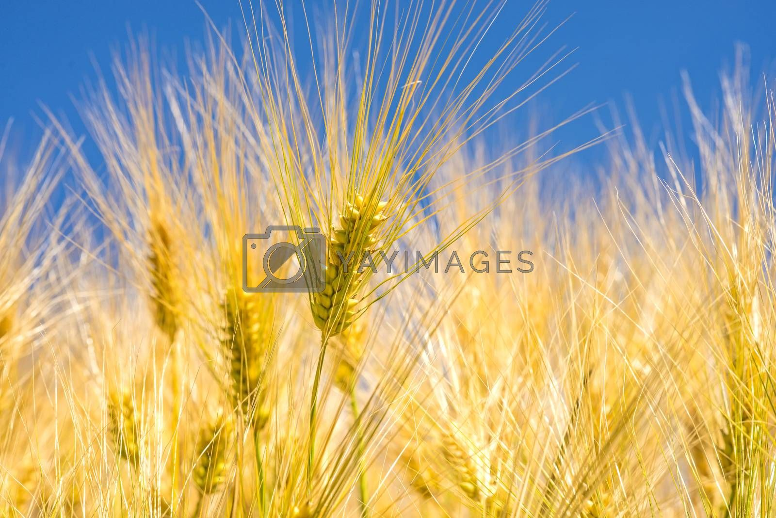barley, head with blue sky by bremse