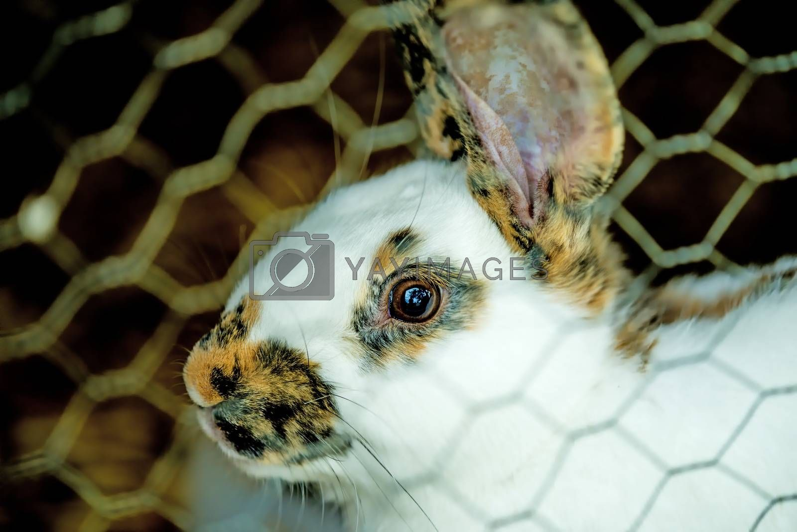 domestic rabbit in a cage by Jochen