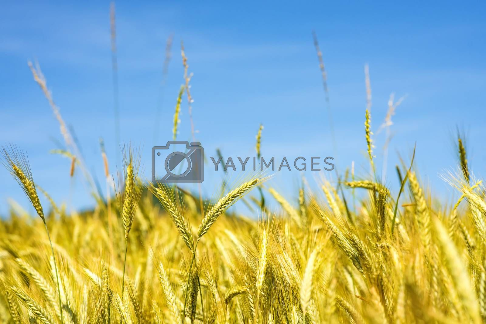 barley, head with blue sky and hill in Germany