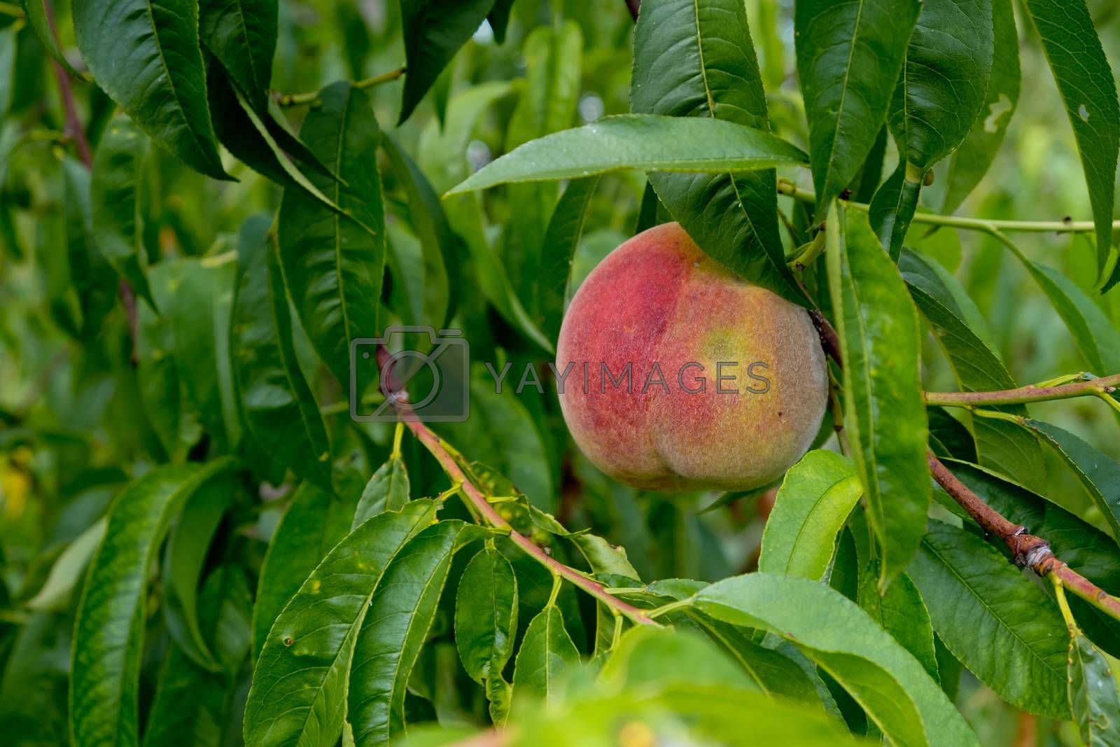 Ripe peach on a tree among the foliage.