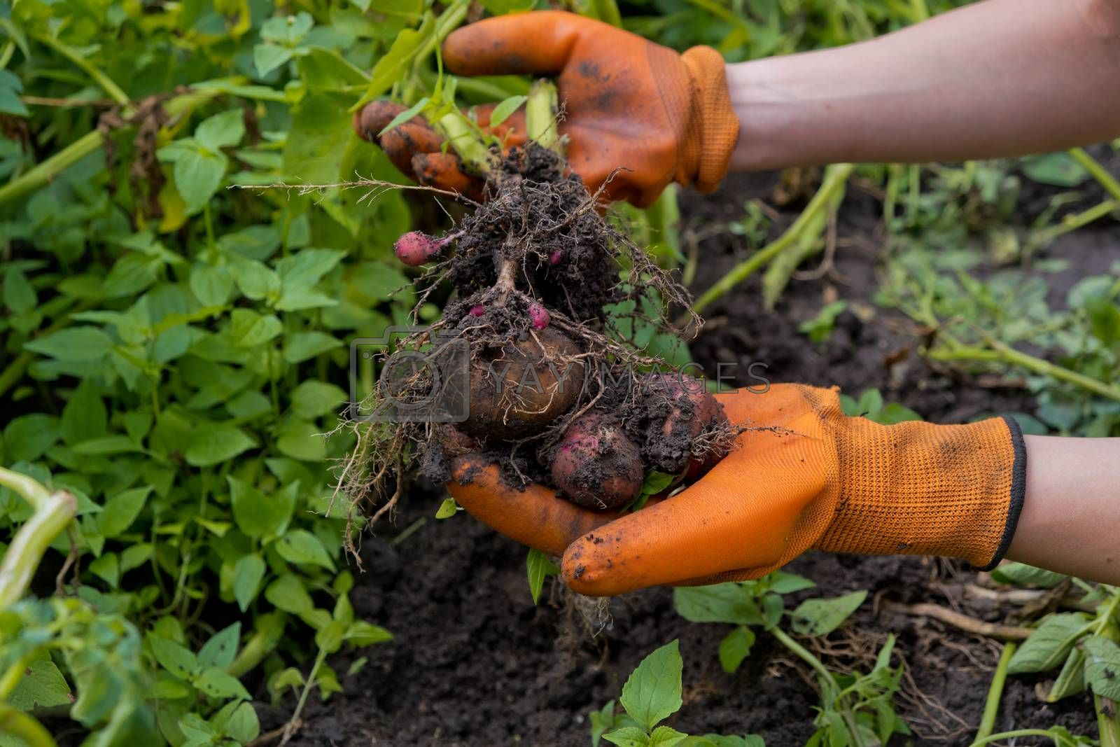 Collection of fresh raw potatoes. A farmer in orange gloves harvests potatoes.