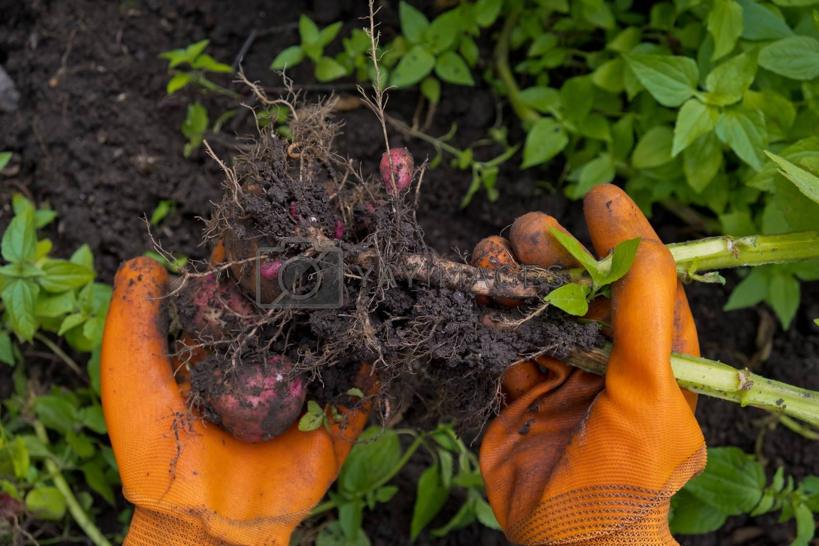 Collection of fresh raw potatoes. A farmer in orange gloves harvests potatoes. Closeup.