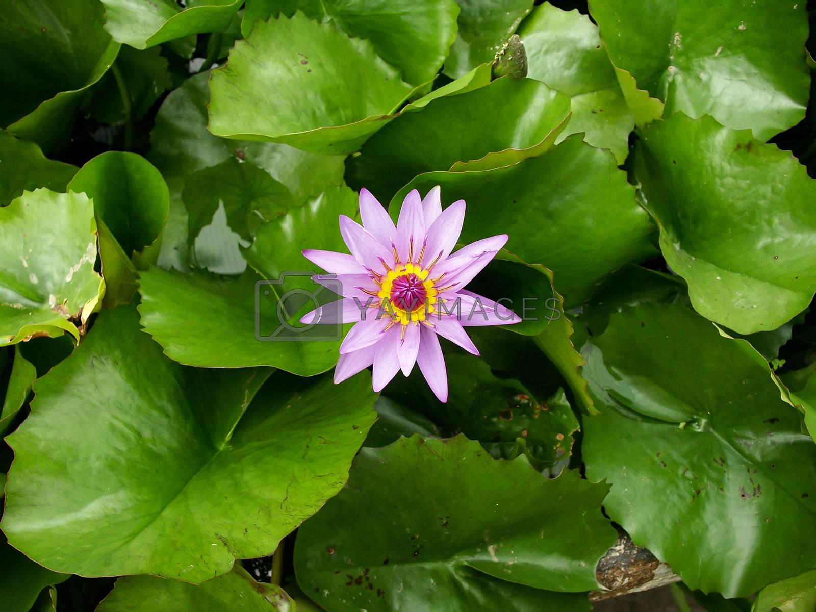 Lotus Flower by applesstock
