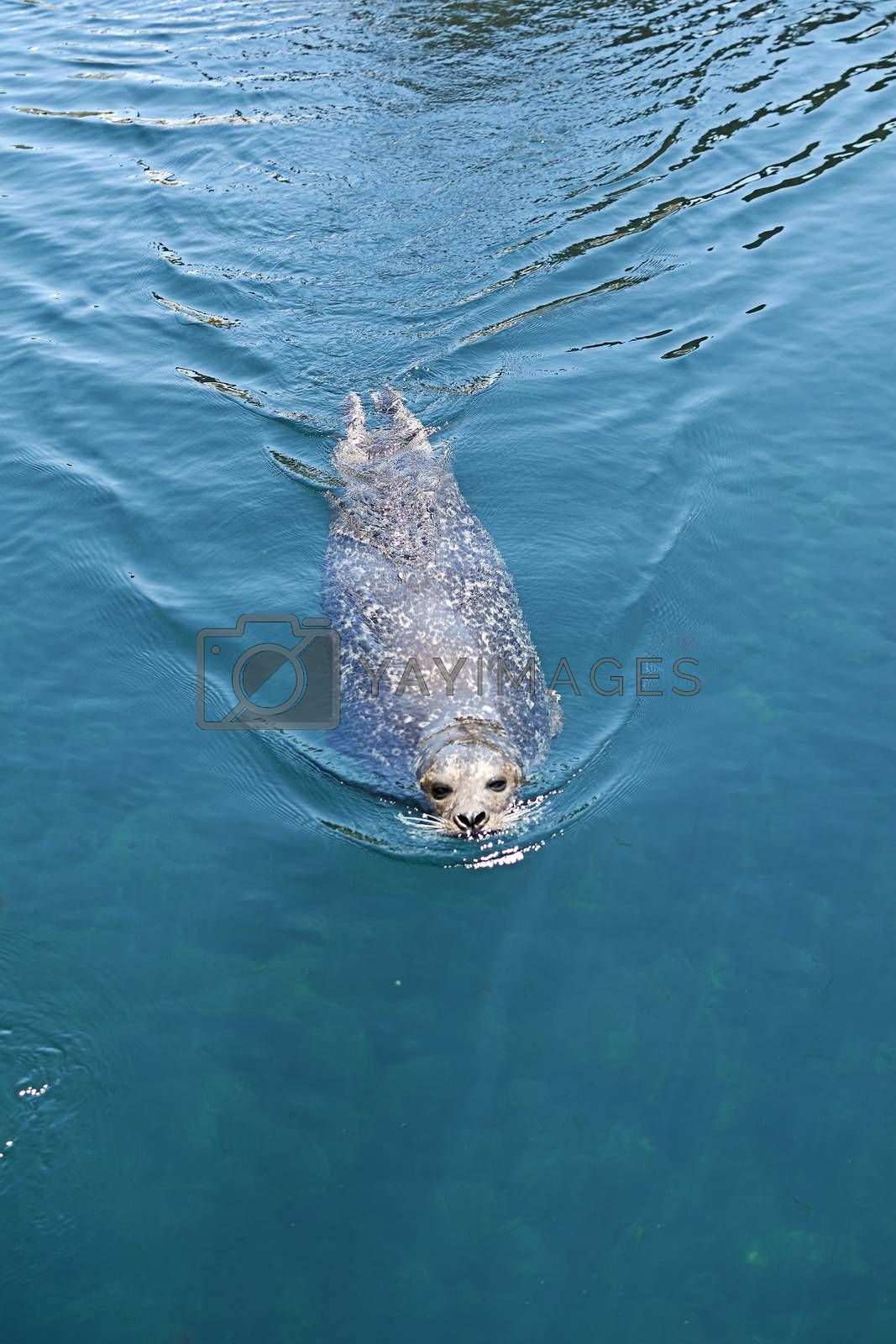 Common seal swimming across the water surface by Raul Ruiz