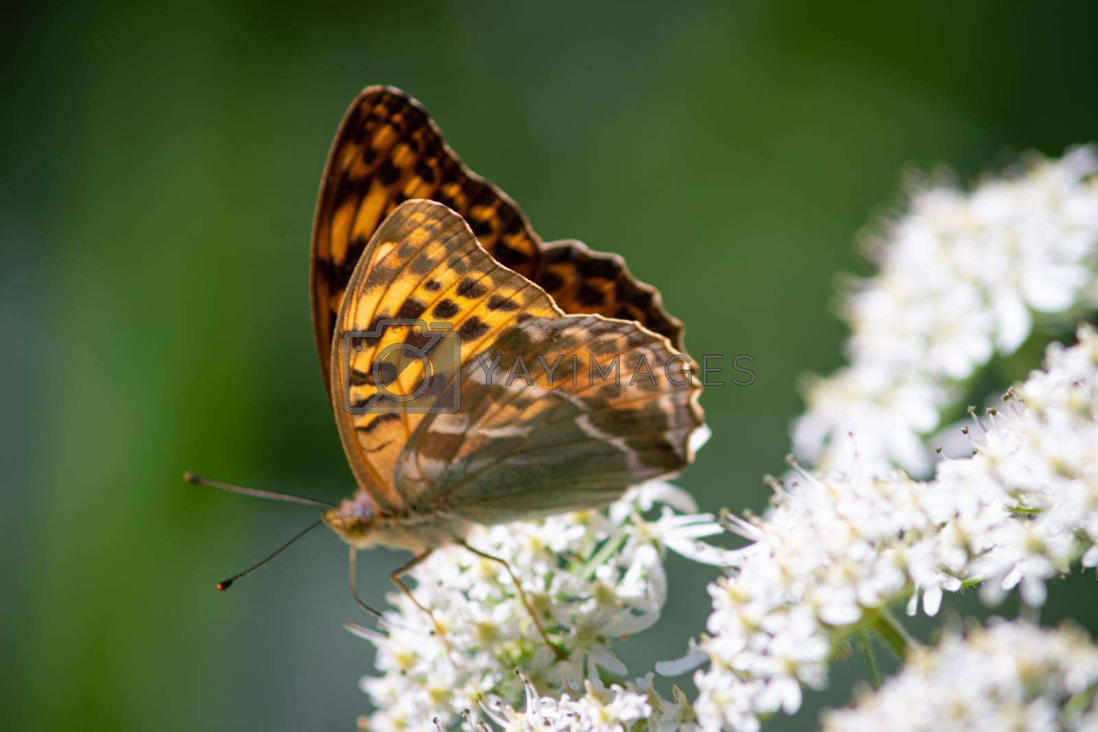 Beautiful summer butterflies on flowers and leaves by mindscapephotos