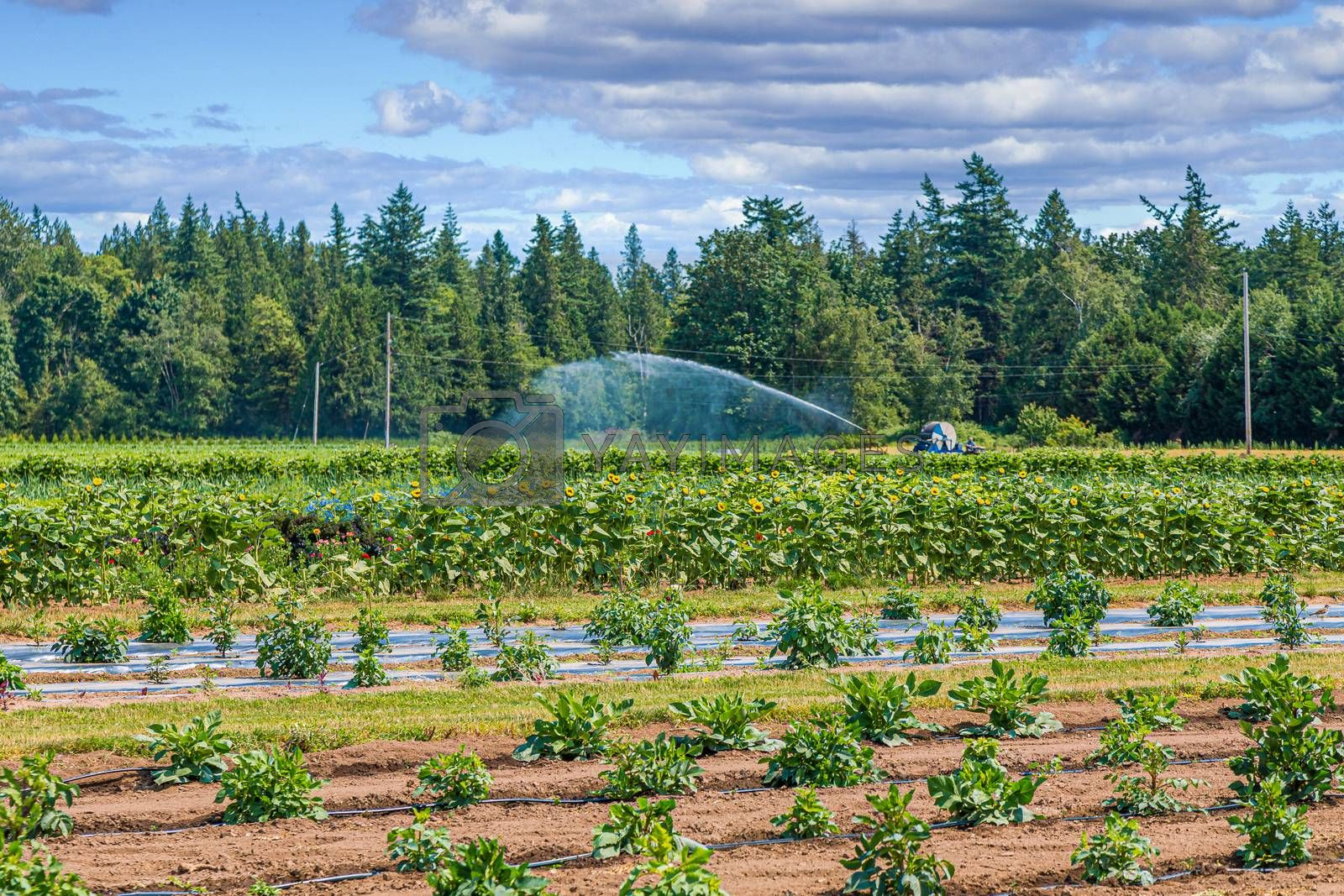 Irrigating a Flower Farm in the Pacific Northwest