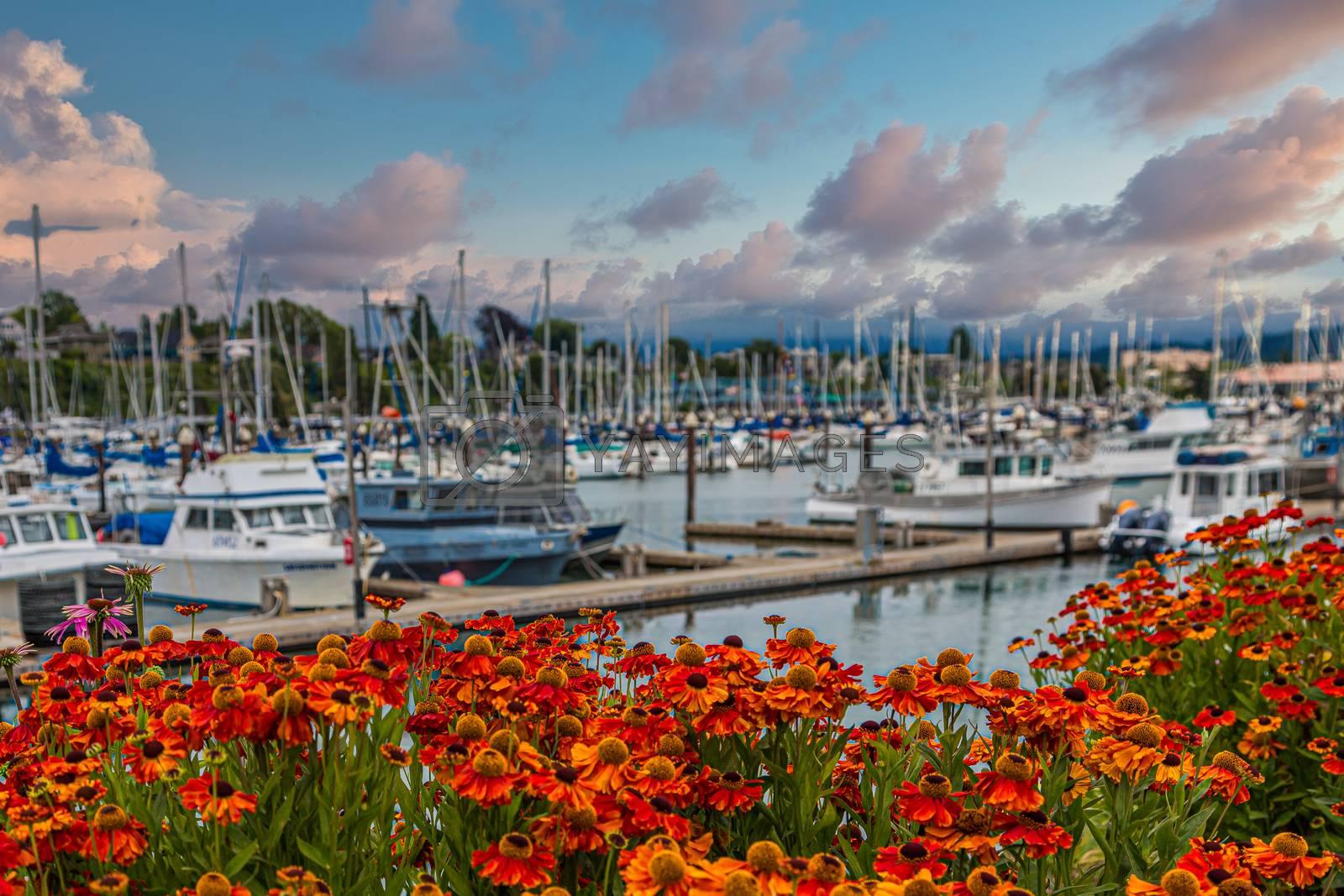 Bellingham Washington Marina Beyond Orange Flowers