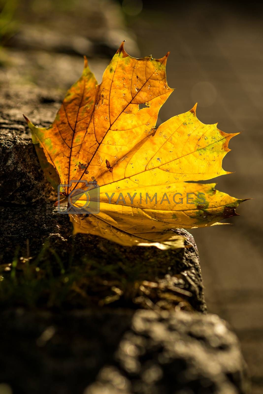 autumnal painted leaf in back lighting by bremse